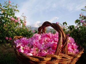 Bulgaria-rose-valley